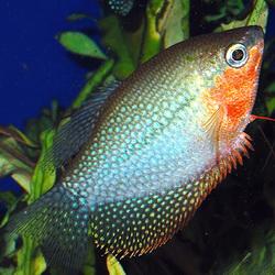 Pearl goldfish