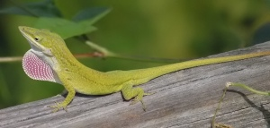Carolina Anole on a branch