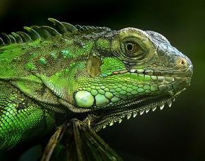 Close up Iguana