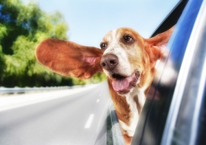Dog with head out of a car window